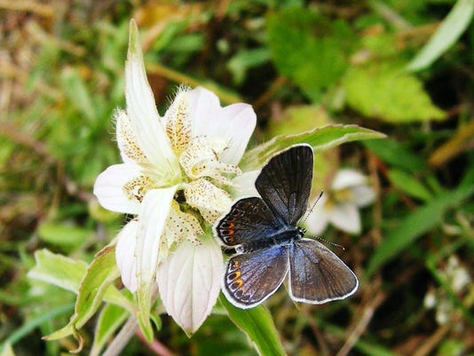 female karner blue butterfly