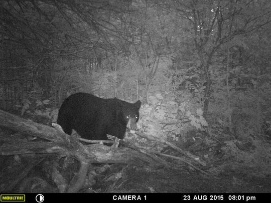 A central Wisconsin black bear checking out the bait.