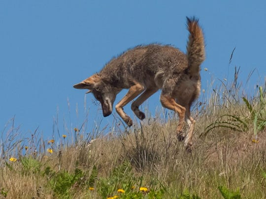 In our area, coyotes' main prey animals are jackrabbits, ground squirrels and other rodents.