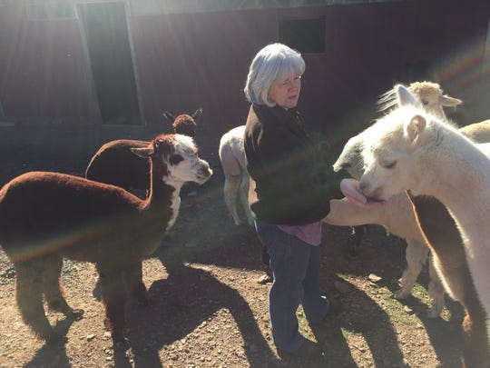 Pat Flannagan with some of her female alpacas outside the barn at Swallow Hill Farm.