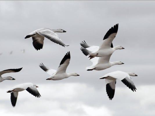 -geese.jpg_20071022.jpg
