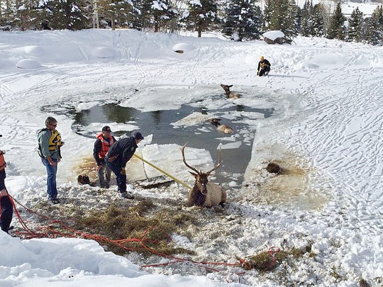 Emergency workers work to rescue three elk that fell through ice Jan. 5, near Aspen, Colo. Two survived.