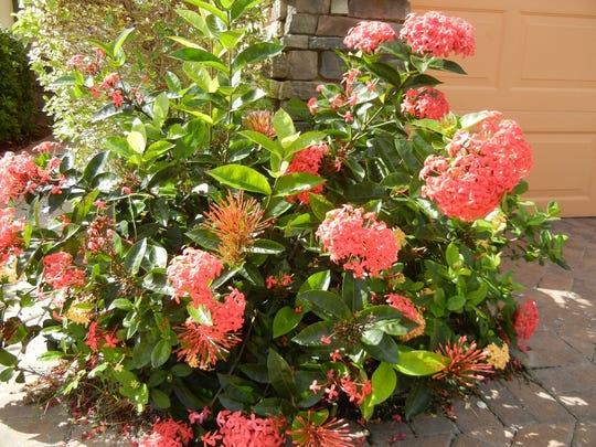 Nora Grant ixora is an 'acid loving' popular plant in Southwest Florida.