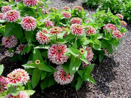 The bicolored flowers of Swizzle zinnias are eye-catching in the landscape.