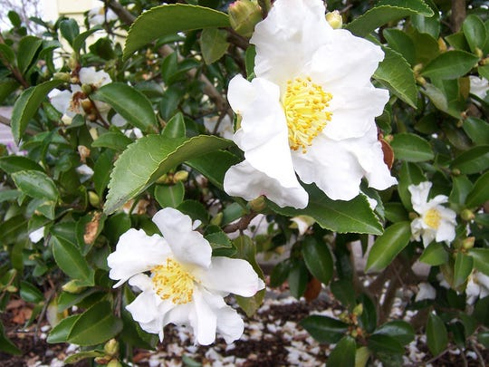 Flowers of Camellia sasanqua appear as early as December.