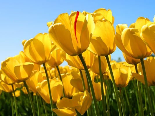 Tulips TEST PHOTO.jpg