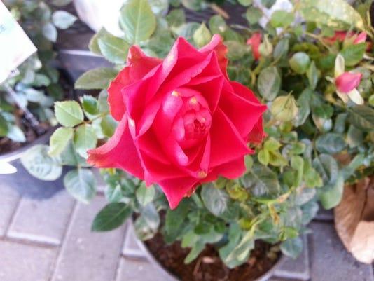 drift rose.jpeg