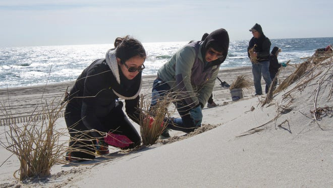 Ellie Robinson and Mo Jia, both of Highland Park,  plant dune grass. Volunteers plant a record 40,000 beachgrass plants on the oceanfront in Island Beach State Park on Saturday March 26, 2016.