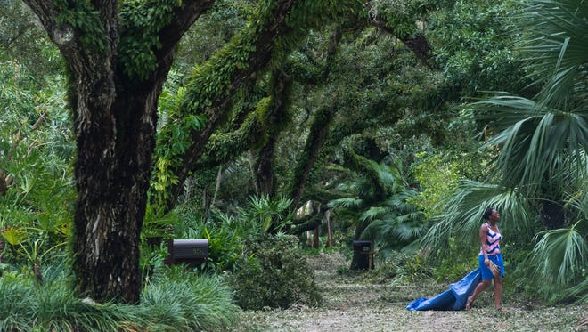 Central Beach residents began cleaning up their live oak-lined dirt roads Friday morning  in Vero Beach. Several old oak trees were uprooted in the area.