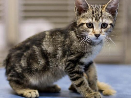 Ashland is an adorable female kitten at Montgomery