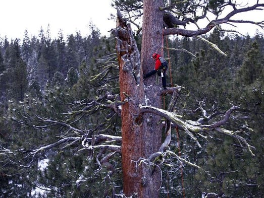 Brian French and his team of climbers with Ascending the Giants head toward the top of a massive ponderosa pine at La Pine State Park.