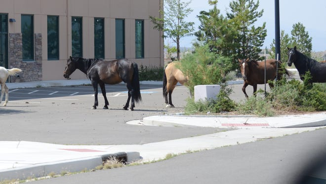 Keith Trout/Mason Valley News Wild horses stand around in front of a commercial building south of Fernley and north of the Tiger Field airport last Thursday afternoon. Between 5-10 horses were there.