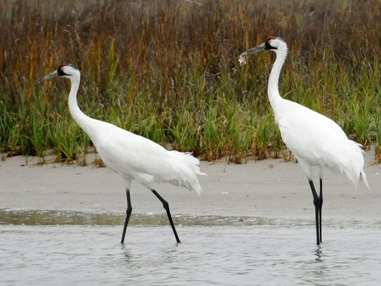A pair of whooping cranes walk through shallow marsh