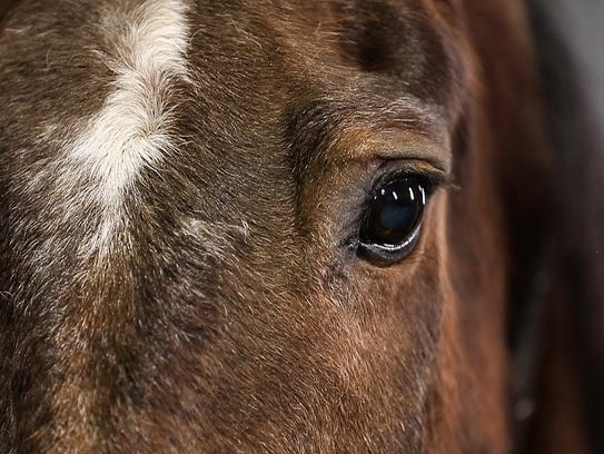 Mandy is a 25-year-old mounted patrol horse for the