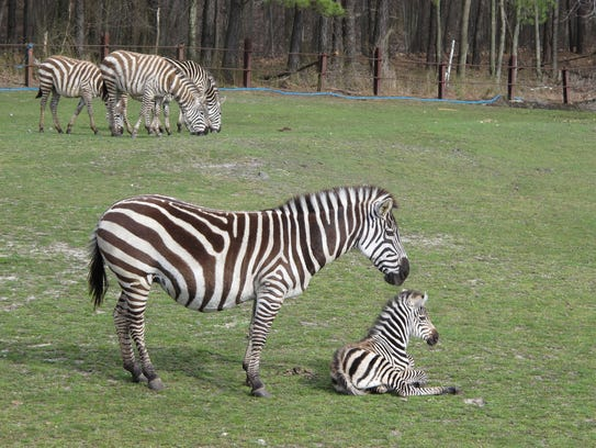 A baby zebra is shown at the Safari at Six Flags Great