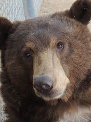 Igasho the black bear at the Southwest Wildlife Conservation