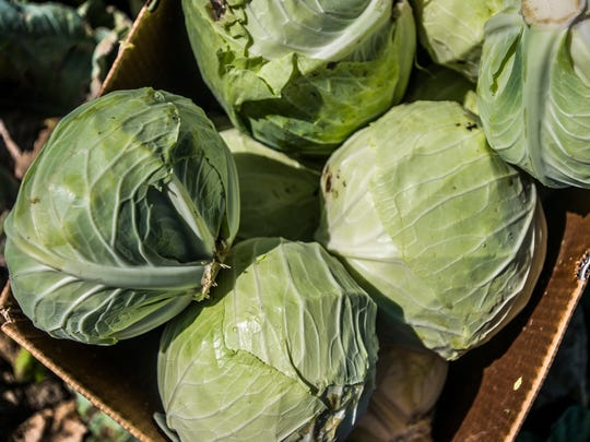 Fresh cabbage harvested from the Intervale in Burlington.