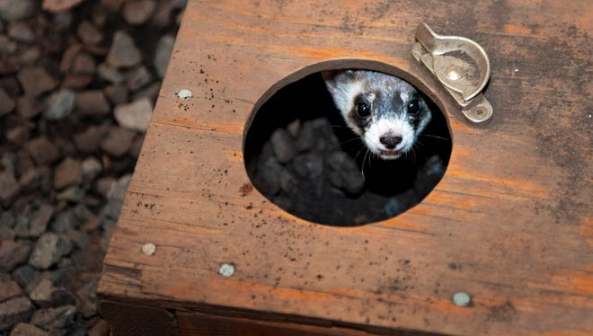 A black foot ferret hides from animal keepers at the National Zooís conservation center in Front Royal, Va., Wednesday, Sept. 28, 2011, as they round-up 26 black foot ferrets for shipment to Fort Collins Co.