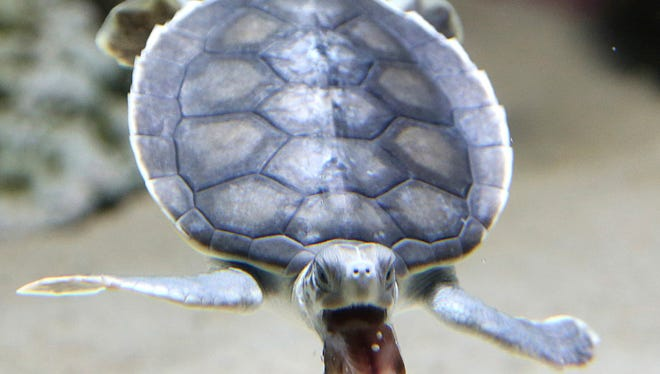 A baby flatback sea turtle is fed at the Sea Life Sydney Aquarium in Sydney, Australia.