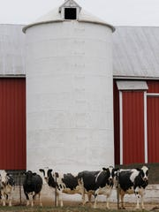 The County Line Dairy Farm milks about 100 cows and