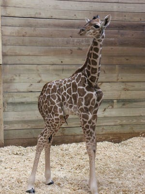 A new baby giraffe calf was born Dec 6, 2016, at the Blank Park Zoo.