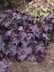 """This undated photo provided by Costa Farms shows Forever Purple Heuchera. """"One of my favorite ways to make a small space feel larger is to plant varieties that have rich green, purple, or orange foliage up front, and incorporate white-variegated leaves at the back,"""" says Justin Hancock of Costa Farms. Forever Purple Heuchera and Campfire Coleus paint a vivid portrait in a garden without flowers. (Costa Farms via AP)"""