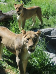 A pair of sister lions have arrived at the Blank Park Zoo.