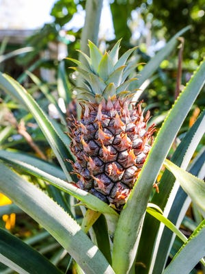 A pineapple plant thrives in a five-gallon container at Lazy Man's Garden on Lincoln Boulevard in Fort Myers where Patrick Caldwell and his partners raise flowers, food plants and animals and teach others to do it, too.