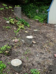 Stumps of dead ash trees dot the property of Jim and Kathy Tonelli in the Town of Grafton, where emerald ash borer, a destructive invasive species, is widespread.