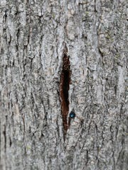 A wound from the treatment of an ash tree at the home of Jim and Kathy Tonelli in the Town of Grafton. An insecticide is pumped into the tree to kill larvae of emerald ash borer.