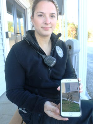 Tiverton Animal Control Officer Jennifer Stills shows a photograph of the coyote that has been living in the populated north end of town.