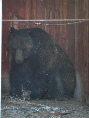 A grizzly bear took refuge in an hold farm building west of Conrad after being chased.