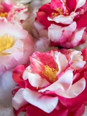 The 79th Pensacola Camellia Club Show & Plant Sale will be from 12 to 4 p.m. Saturday, Dec. 9, 2017, at The Wright Place at First United Methodist Church.