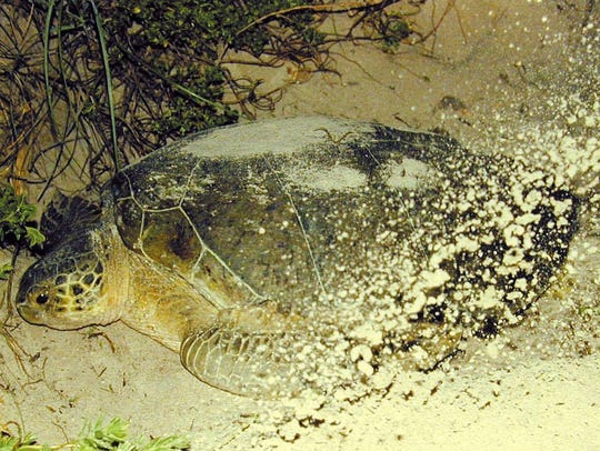 A green sea turtle covers her nest at Archie Carr National