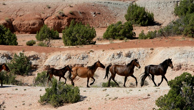 A band of wild horses moves toward corrals at the southern end of the Pryor Mountain Wild Horse Range near Lovell, Wyo.