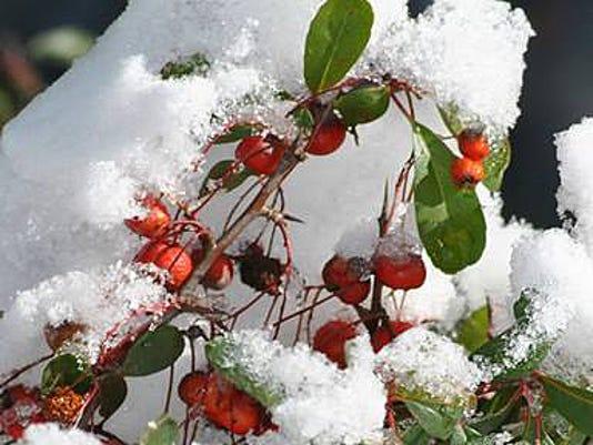 -SBYBrd_01-22-2015_DailyTimes_1_A004~~2015~01~21~IMG_012115-snow_berries._1_.jpg