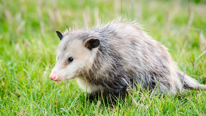The opossum is good at eating ticks, and is one of the few small mammals that does not contract the rabies virus