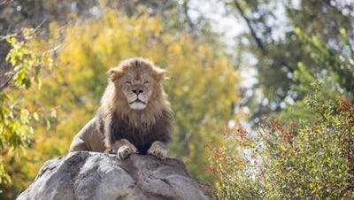 A 3-year-old lion was euthanized Saturday at the Denver Zoo after liver disease caused severe seizures.