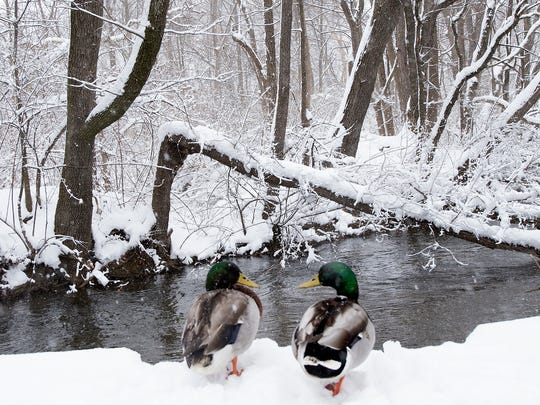 Ducks appear to be in conversation as they rests near a creek behind Chambersburg McDonald's. Snow continued in Franklin County on Wednesday, March 21, 2018. The snow started Tuesday morning on the first day of spring.