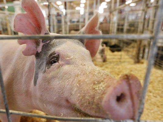 1 Pig