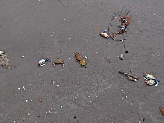 Dead-crabs.jpg