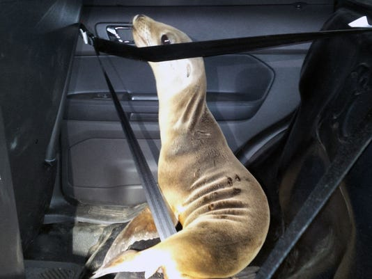Stranded Sea Lion Pup