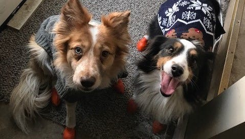 Eden, the dog on the left, was rescued from border collie puppy mill breeder Randy Sanders. At the time of her rescue, she suffered from untreated hip dysplasia, was malnourished and suffering from many other maladies.
