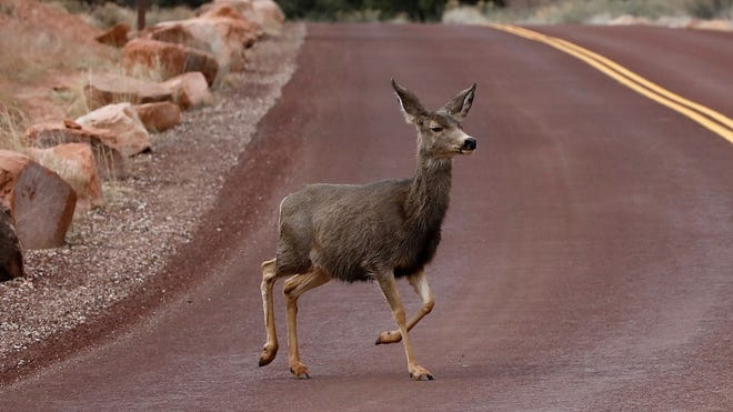 A deer runs across a road in Zion National Park in Utah on February 9, 2017. / AFP PHOTO / RHONA WISE        (Photo credit should read RHONA WISE/AFP/Getty Images)
