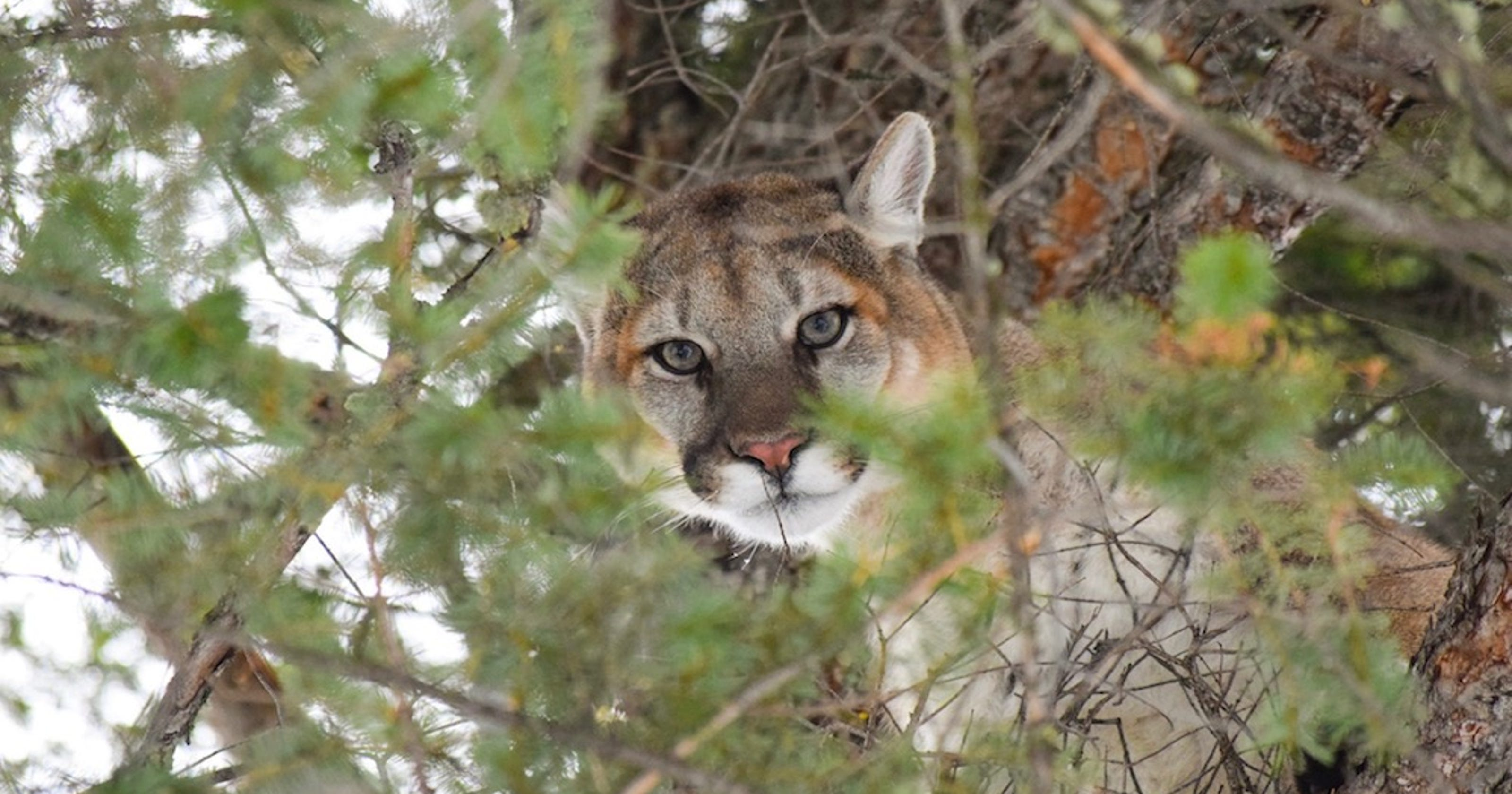 Reported sightings of big cats in NY rarely see physical evidence