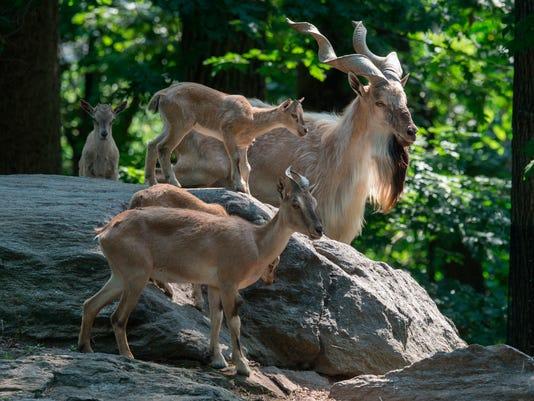 Bronx Zoo Endangered Goat