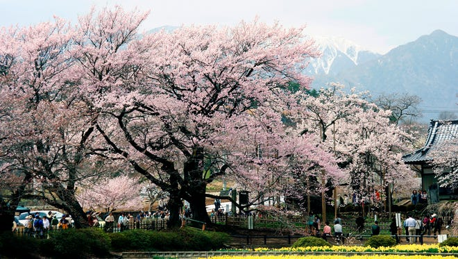 Yamataka Jindai features lots of flowers and cherry blossoms in the spring as well as a 2,000-year-old sakura tree. It is located in Hokuto City, Yamanashi, Japan.