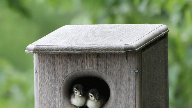 Wood ducks in nest box.