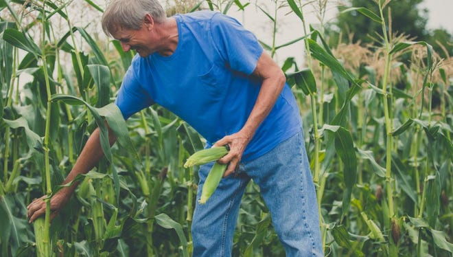 Grower Carden Giles harvesting sweet corn,