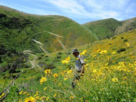 Joseph Algiers, restoration ecologist with the Santa Monica Mountains National Recreation Area,  looks at wildflowers in bloom at La Jolla Canyon Trail at Point Mugu State Park. Throughout Southern California, this year has been a fantastic one for flowers.